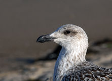Closeup Juvenile Herring Gull Head Profile Royalty Free Stock Photos