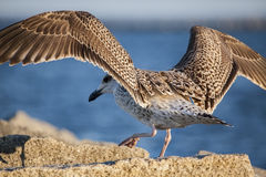 Closeup Juvenile Herring Gull Landing Stock Photo