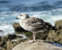 Closeup juvenile Herring Gull Stock Photography