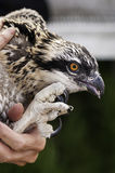 Closeup of Juvenile Osprey Held Prior to Banding Stock Image