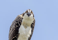 Closeup of a Juvenile Osprey Royalty Free Stock Photos
