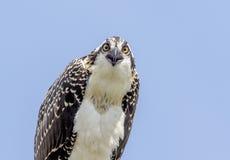 Closeup of a Juvenile Osprey Royalty Free Stock Photos