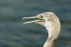 Closeup of Juvenile Socotra cormorant Stock Photos