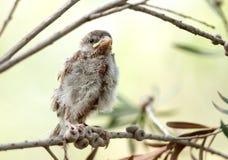 Closeup of a a Juvenile sparrow Stock Photography