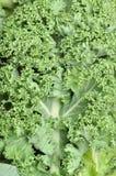 Closeup of kale Royalty Free Stock Photography
