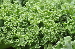 Closeup of kale Stock Photos
