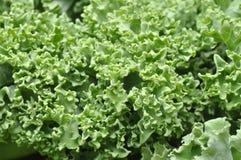 Closeup of kale Stock Photos