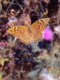 Closeup Keizersmantel brown butterfly on flower background stock images