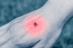 Closeup of killed mosquito with lots of blood. Mosquito feeds on. Closeup of killed mosquito with lots of blood on hand. Mosquito feeds on the blood of the human Royalty Free Stock Photos