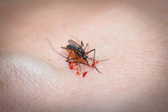 Closeup of killed mosquito with lots of blood. Mosquito feeds on Royalty Free Stock Images