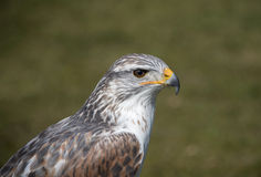 King buzzard Royalty Free Stock Photos