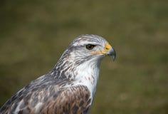 King buzzard royalty free stock photos