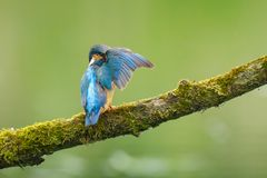 Close up of a Kingfisher Alcedo atthis preening Stock Images