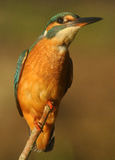 A closeup of the kingfisher on a twig Royalty Free Stock Images