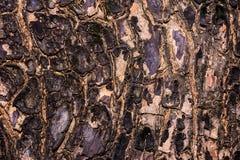 Closeup knäckt hud av stammen av trädtextur Arkivfoto