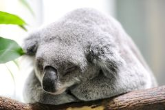 Closeup about a koala sleeping on a branch Stock Photos