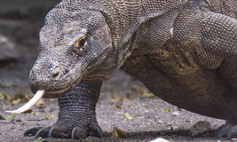 Closeup of a Komodo Dragon with its tongue out Royalty Free Stock Photography
