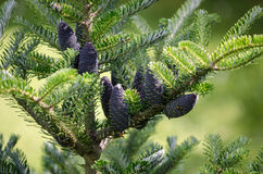 Closeup of Korean fir with cones, Abies koreana Royalty Free Stock Image