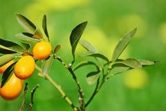 Closeup of a kumquat plant Stock Images