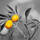 Closeup of a kumquat plant with selective desaturation effect Stock Photos