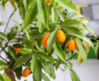 Closeup of a kumquat tree with fruits Stock Photos