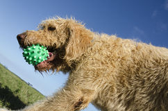 Labradoodle Playing Catch Royalty Free Stock Photos