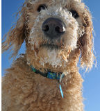 Closeup of Labradoodle puppy. Face of a labradoodle puppy covered in snow royalty free stock images