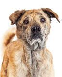 Closeup of Labrador and Chow Crossbreed Dog stock photography