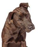 Closeup of Labrador Crossbreed Dog Tilting Head Royalty Free Stock Photo