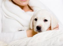 Closeup of Labrador puppy on the hands of woman Stock Photos