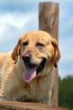 Closeup Labrador Retriever Royalty Free Stock Images