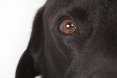 Closeup of labradors eye Royalty Free Stock Images