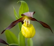 Closeup of a Lady`s-slipper orchid in springtime Royalty Free Stock Image