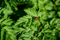 Closeup of ladybird on cow parsley Royalty Free Stock Images