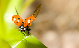 Closeup of ladybird on green grass Stock Photo