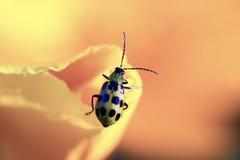 Closeup of ladybug  Stock Images