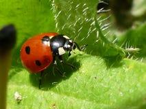 Closeup of Ladybug on Dandelion Leaf stock image