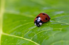 Closeup of a ladybug on a green leaf royalty free stock images