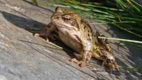 Lake Frog. Closeup of Lake Frog on the stone stock footage