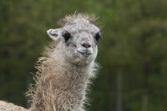 Closeup on a Lama Royalty Free Stock Photo