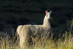 Closeup of a lama in Putre. Closeup image of a lama eating in Putre village, Chile Stock Images