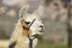 Closeup of a lama in Putre. Closeup image of a lama in Putre village, Chile Royalty Free Stock Photos