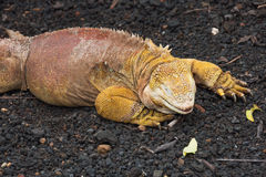 Closeup of a land iguana sitting on lava gravel and pumice. Stock Photography