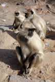 Closeup of Langur Monkey Royalty Free Stock Photo