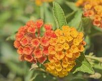 Closeup of  lantana camara flower floret Stock Photography