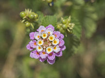 Closeup of  lantana camara flower floret. Closeup detail of white and pink lantana camara flower floret in garden with berries Stock Photo
