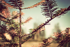 Closeup of a larch branches vintage style colors Royalty Free Stock Image