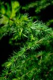Closeup of a larch tree needle branch royalty free stock photo