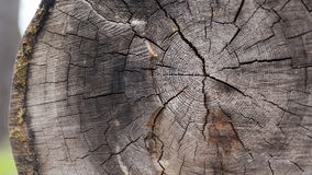 Closeup larch wood cut down a big old tree, more stock video
