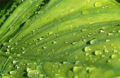 Closeup of a large Alocasia leaf with drops of rain sliding over it, background of a plant after the rain
